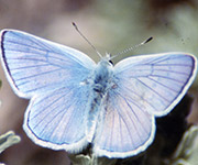 Blue Azure Butterfly