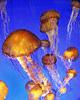 Sea Nettle<br/>(free)