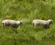 Sheeps a Runnin'