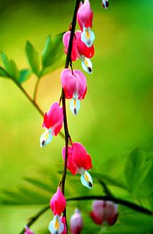 Bleeding Hearts Flower - Brent Reed (1097)