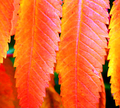 Fall Leaves (Staghorn Sumac) - Catherine Moore (1599271792)