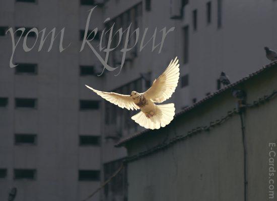 Kippur Dove -  (8620082792)