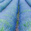Lavender Field<br/>(free)