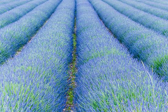 Lavender Field - Robb Waterman (7120008778)