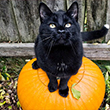 Cat on Pumpkin<br/>(free)