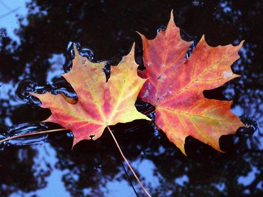 Floating Leaves - Jennifer Witnauer (1604536832)