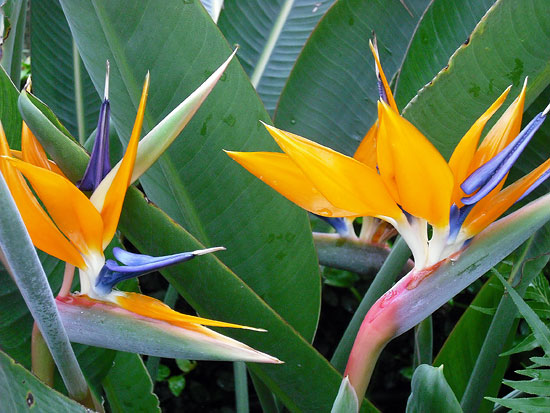 Talking Birds of Paradise