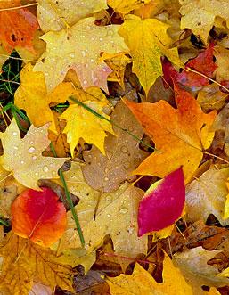 Fallen Leaves - Kevin Sink (15425619)