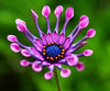 African Daisy<br/>(free)