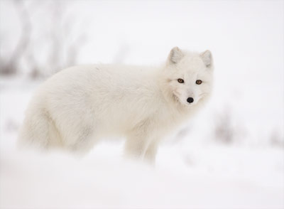 Arctic Fox - Robb Waterman (1573923344)