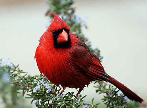 He Cardinal - Stacey Nagy (2619714068)