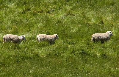 Sheeps a Runnin' - Suzie Rose (1573948914)